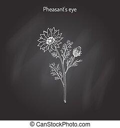 Adonis vernalis, spring pheasant s eye, or false hellebore,...