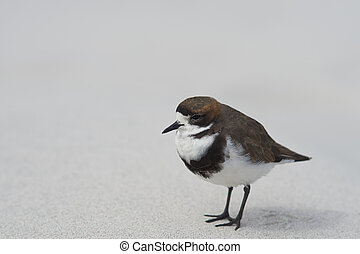 Two-banded Plover on a sandy beach - Two-banded Plover...