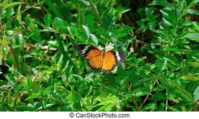 Leopard Lacewing butterfly on flower. Video FullHD - Leopard...