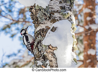 Female Great spotted woodpecker (Dendrocopos major)