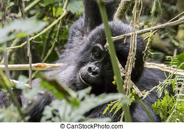Mountain gorilla youth in trees, Bwindi Impenetrable Forest...