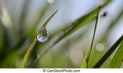 Fresh green spring grass with dew drops. - Fresh green...