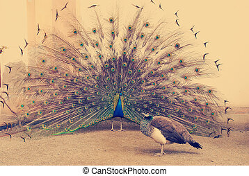 peacock tail spread tail-feathers - instagram tone peacock...