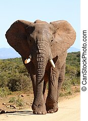 African Elephant Bull - Huge African Elephant bull with it's...
