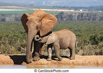 Elephant Mother and Baby - African elephant mother and baby...