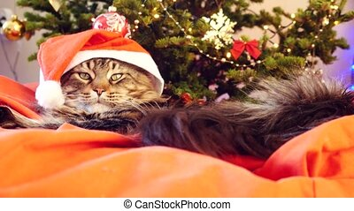 Funny Maine Coon cat as Santa Claus wears christmas cap sits on the pillow at a beautiful new year decorated tree. 3840x2160