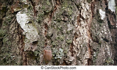 Closeup of a Scarab Beetle Climbing up a Tree Trunk -...
