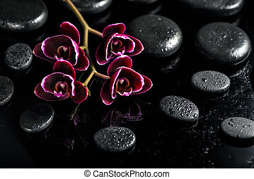 beautiful spa concept of dark cherry orchid flower on black...