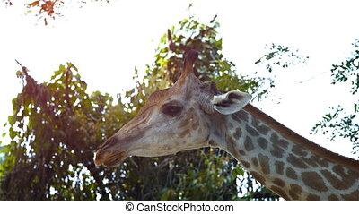 Nervous Giraffe Stands Still. FullHD video - Nervous giraffe...