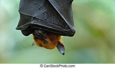 Large Flying Fox Hangs Upside Down. Footage HDTV - Adorable,...