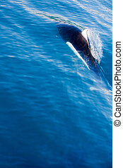 Dall Porpoise Swimming - A dall porpoise swims through the...