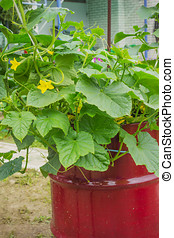 Blossomed a cucumber, in an old barrel - Blossomed a...