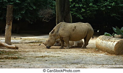 Two White Rhinoceroses at the Zoo. Footage HDTV - Pair of...