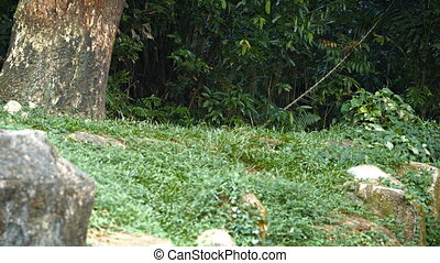 Mature, Male Lion, Pacing Nervously at the Zoo. 1080p FullHD...