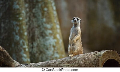 Solitary Meerkat Standing Guard. 1080p FullHD video -...