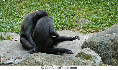Pair of Sulawesi Crested Macaques at the Zoo. FullHD video -...