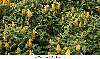 Beautiful Yellow Blooms of Lollipop Plants in a Tropical...