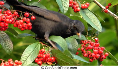 Young blackbird feeding on red berries