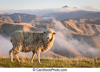 grazing merino sheep with mountains at sunset - closeup of...