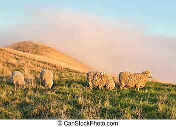 merino sheep grazing on grassy hill at sunset - flock of...