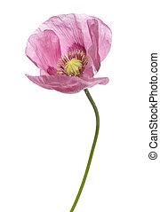 Pink Purple Poppy