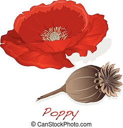 dried poppy head vector isolated on white