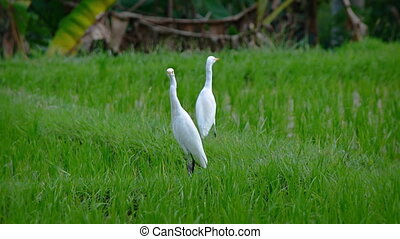 Egrets Taking Off from a Rice Field in Bali, Indonesia....