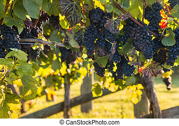 backlit Pinot Noir grapes in vineyard - closeup of backlit...