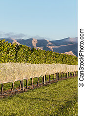 row of grapevine with protective netting