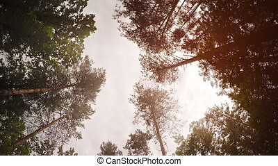 Tall Pine Trees Reaching Skyward in a Wilderness Area - Tall...