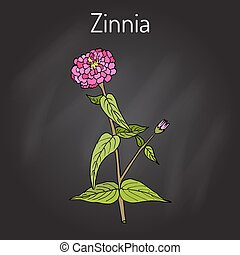 Zinnia elegans, or youth-and-age, flowering plant