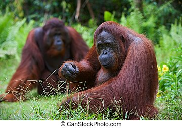 Orangutan adult femaleTwo orangutans sit on a green lawn and...