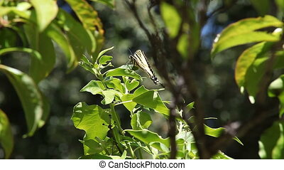 butterfly falls off leaf - swallowtail butterfly loses its...