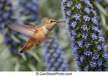 Allens Hummingbird - Allens hummingbird feeding on pride of...