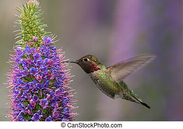 Annas Hummingbird - Annas hummingbird feeding on pride of...