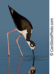 Black-necked Stilt - Black-necked stilt foraging against...