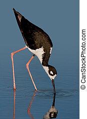 Black-necked Stilt - Black-necked stilt foraging against...