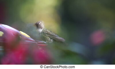 hummingbird feeding - ruby-throated hummingbird at a feeder...