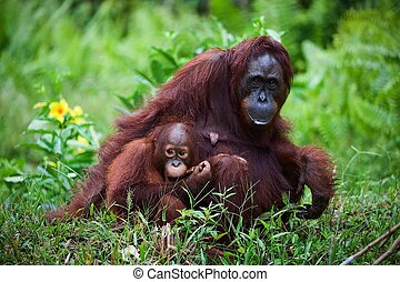 Female orangutan with the baby on a grass - Female the...