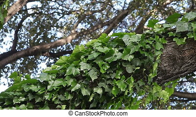 ivy growing up a tree limb - ivy twines around a limb in a...