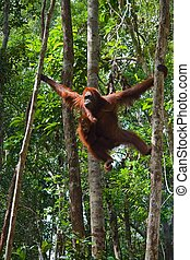 Female of the orangutan with a cub In wild wood of Borneo...