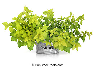 Marjoram Herb Plant - Golden marjoram in a distressed...