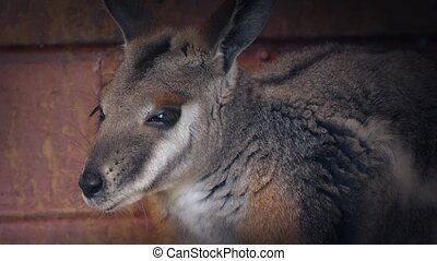 Wallaby Cools Off In Shade By Farm Building - Wallaby...