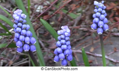 Muscari flowers in the garden - macro