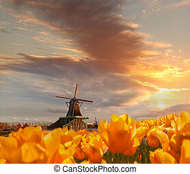 Traditional Dutch windmill with tulips in Zaanse Schans,...