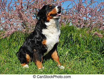 bernese mountain dog - purebred bernese mountain dog sitting...