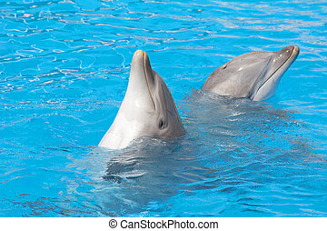 "Pair of bottlenose dolphins ""dancing"" in the water"