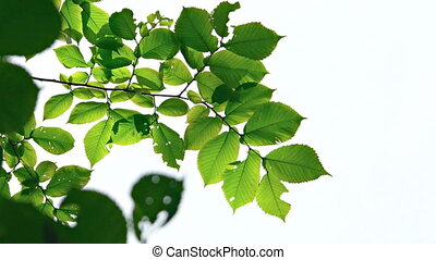 Closeup of Leaves Stirring in a Gentle Breeze. 1080p FullHD...