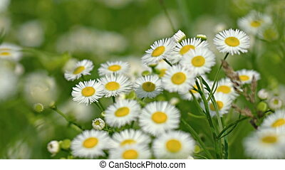 Pretty White and Yellow Wildflowers in a Breeze. Video 1080p...