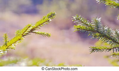 Close up of Pine or Fir tree branches moving on wind.  summer
